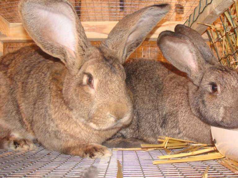 Фландр или Бельгийский великан – одна из старейших пород кроликов.