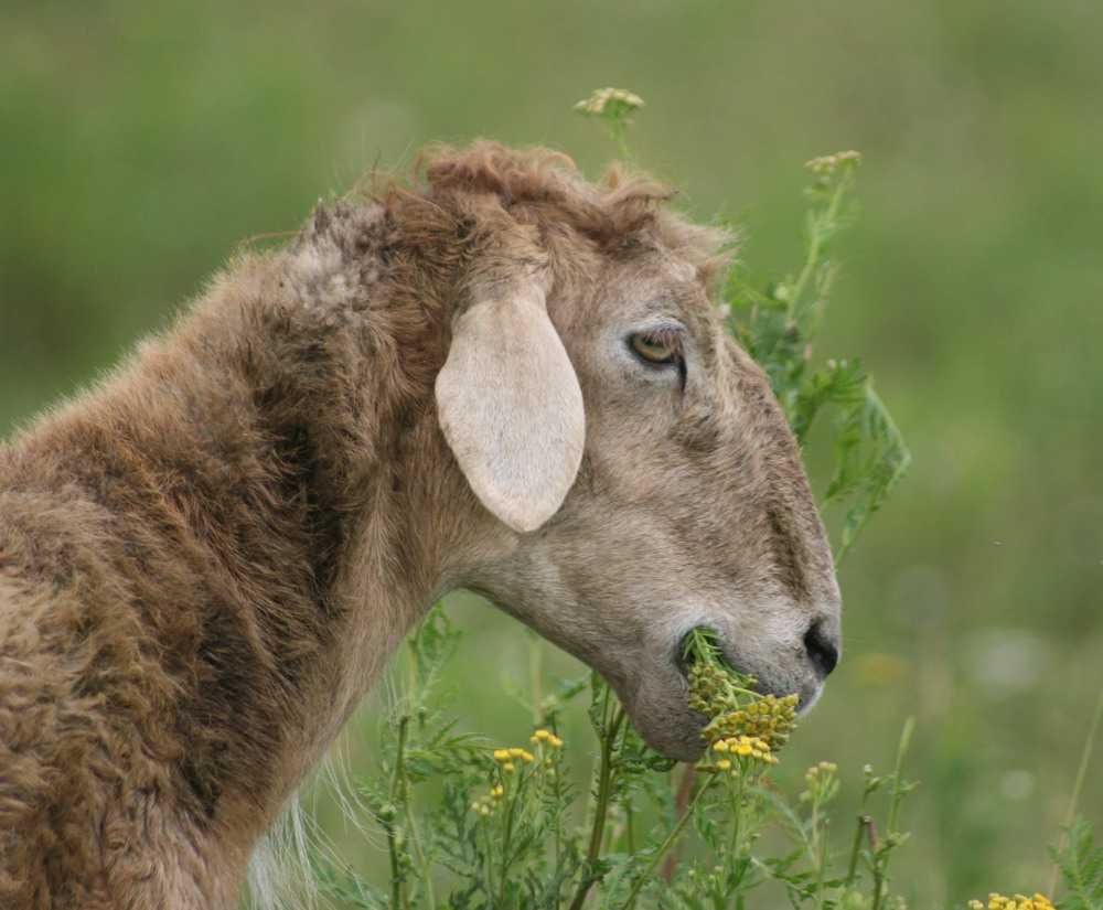 Овцы Эдильбаевской породы.