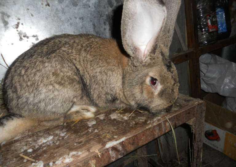 Кролики отличаются крупным размером вытянутого туловища.
