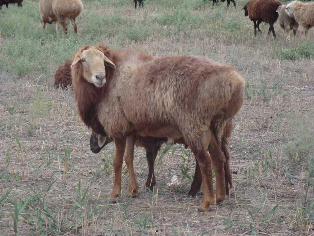 Эдильбаевская овца имеет самую качественную шерсть среди пород курдючного типа.