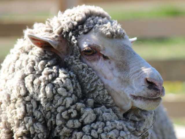 Овца породы меринос.