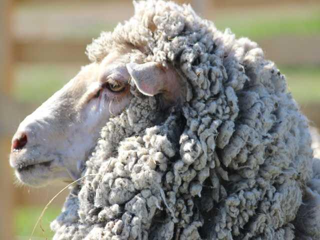 Овца меринос 1,5 года.