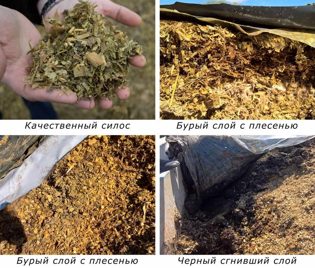 kormlenie-korov-chem-kormit-korovu-raczion-pitaniya-i-sostav-korma-8