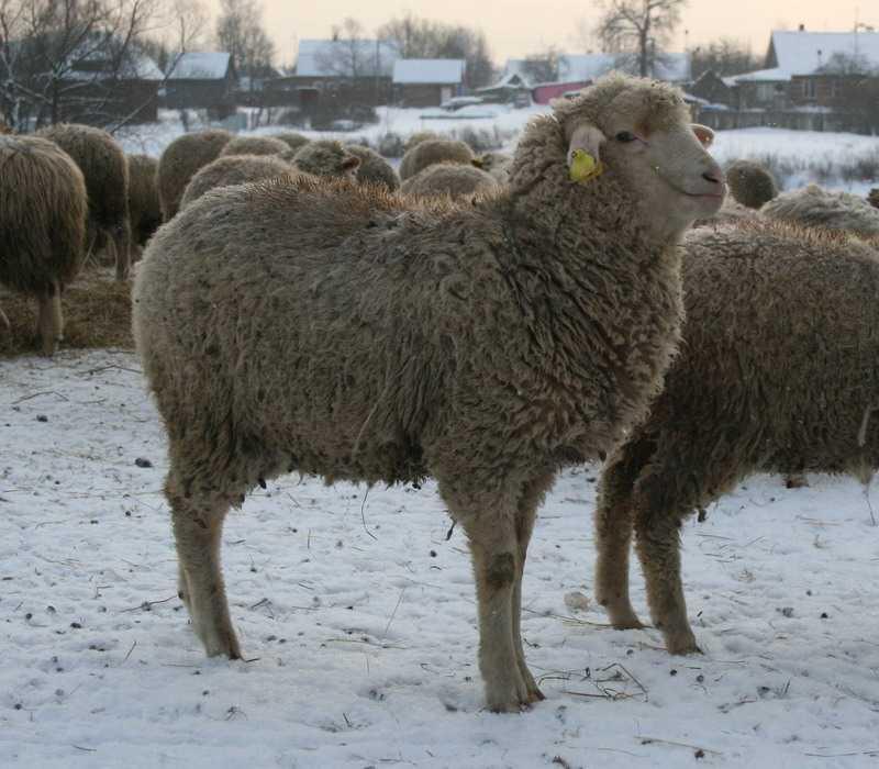 Многие современные породы овец имеют кровь Мериноса.