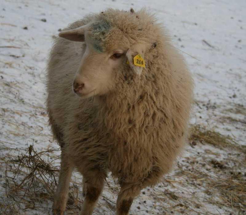 Порода тонкорунных овец Меринос.
