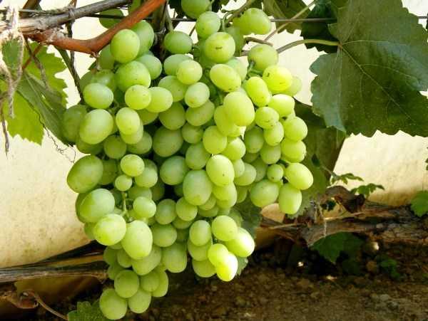 vinograd-sorta-kesha-dostoinstva-i-nedostatki-osobennosti-uhoda-4