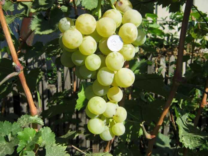 vinograd-sorta-kesha-dostoinstva-i-nedostatki-osobennosti-uhoda-5