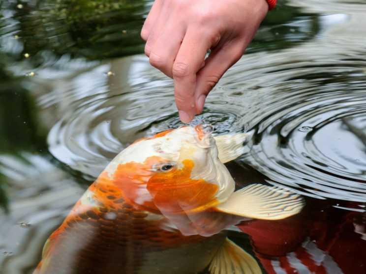 kombikorm-dlya-ryby-sostav-preimushhestva-reczepty-prigotovleniya-4