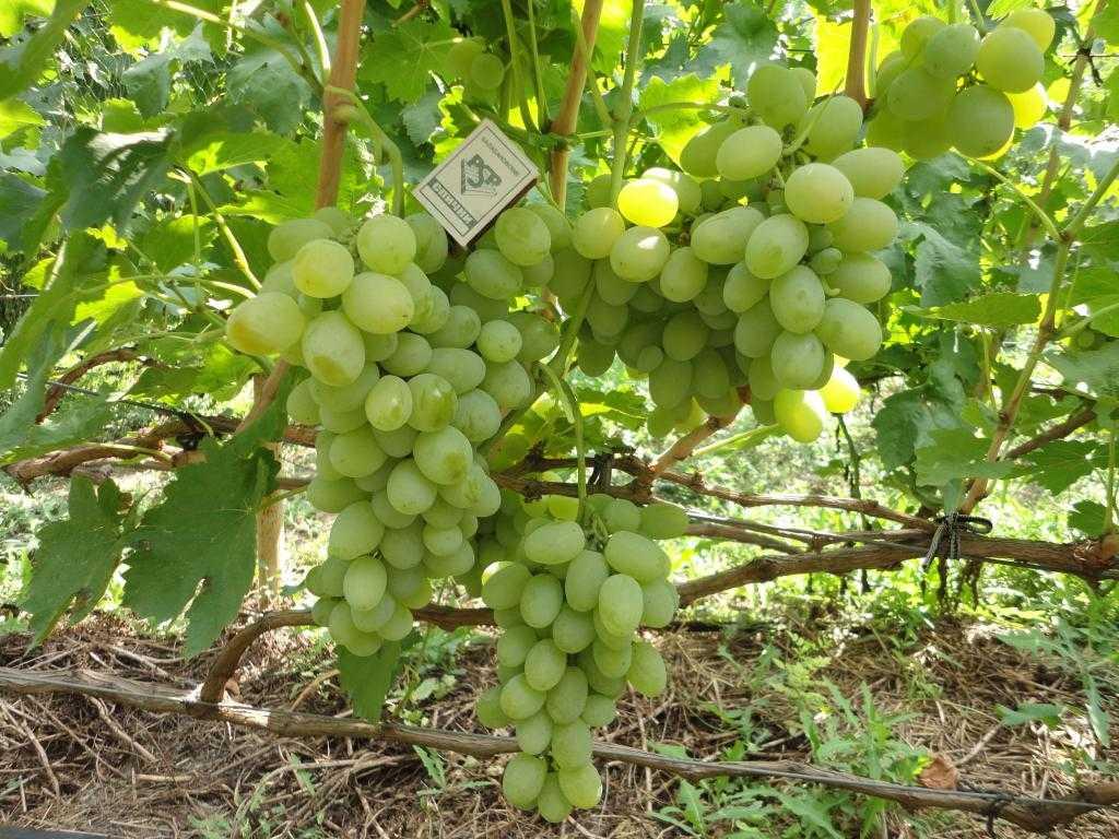 vinograd-sorta-kesha-dostoinstva-i-nedostatki-osobennosti-uhoda