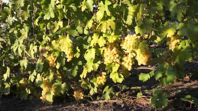 vinograd-sorta-kesha-dostoinstva-i-nedostatki-osobennosti-uhoda-7