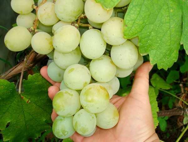 vinograd-sorta-kesha-dostoinstva-i-nedostatki-osobennosti-uhoda-2