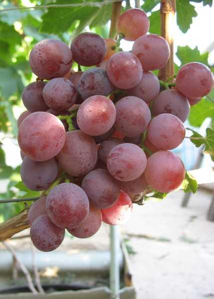 vinograd-sorta-kesha-dostoinstva-i-nedostatki-osobennosti-uhoda-3