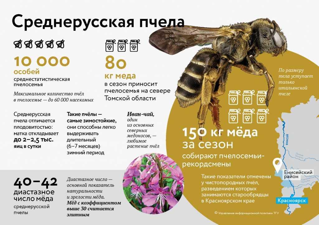 srednerusskaya-pchela-foto-video-opisanie-i-harakteristika-porody-4