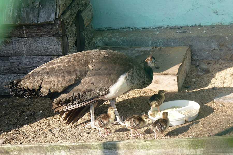 pavliny-foto-opisanie-pticzy-osobennosti-soderzhaniya-v-domashnem-hozyajstve-15