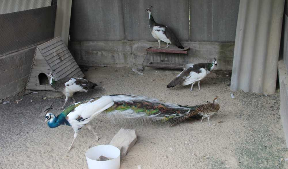 pavliny-foto-opisanie-pticzy-osobennosti-soderzhaniya-v-domashnem-hozyajstve-20