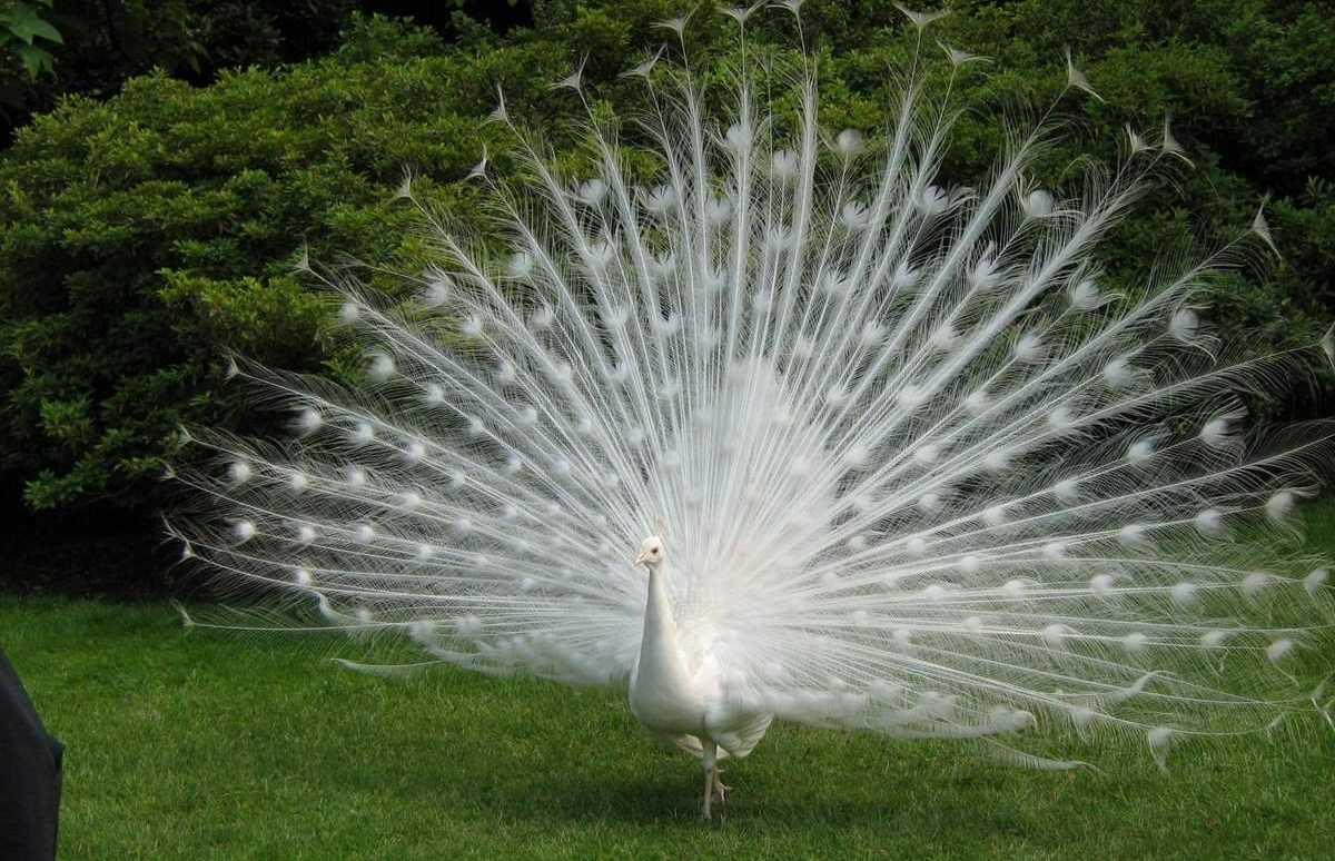 pavliny-foto-opisanie-pticzy-osobennosti-soderzhaniya-v-domashnem-hozyajstve-10
