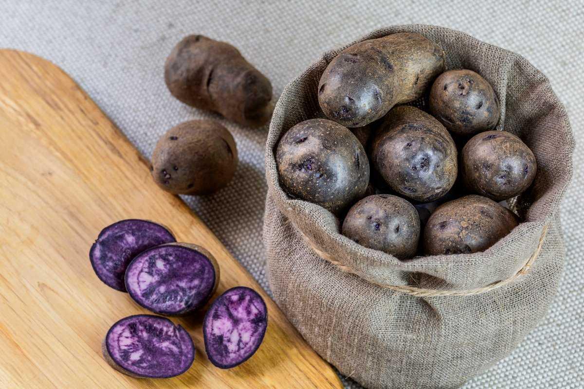 fioletovyj-kartofel-foto-poleznye-svojstva-osobennosti-vyrashhivaniya