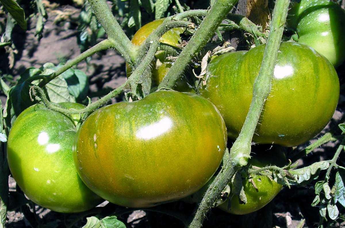 luchshie-sorta-pomidor-kakoj-vybrat-lichnyj-opyt-vyrashhivaniya-2
