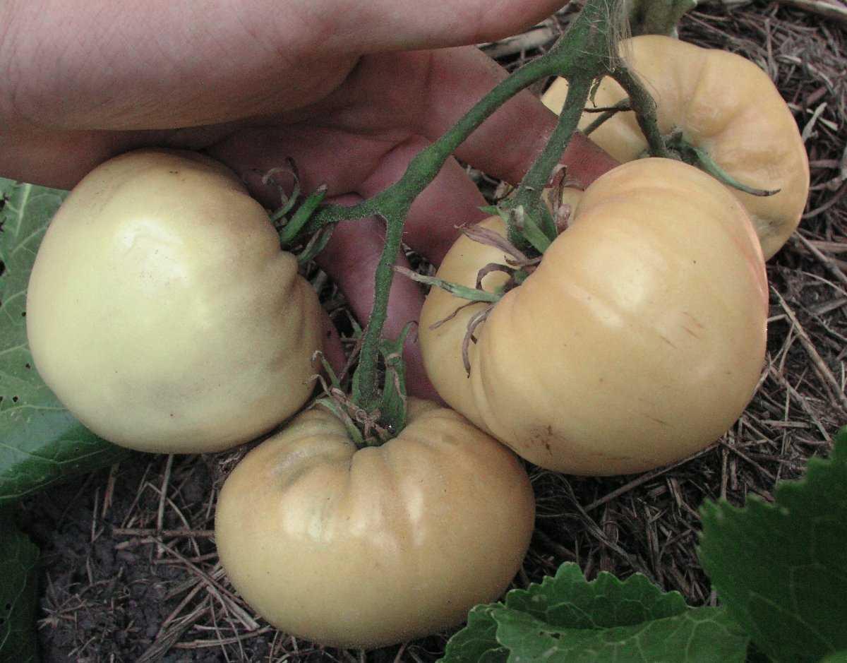 luchshie-sorta-pomidor-kakoj-vybrat-lichnyj-opyt-vyrashhivaniya-6