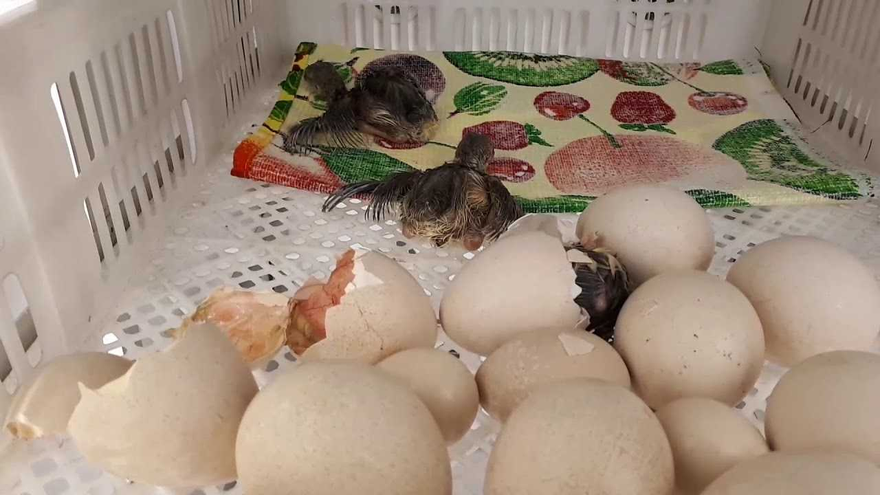 pavliny-foto-opisanie-pticzy-osobennosti-soderzhaniya-v-domashnem-hozyajstve-4