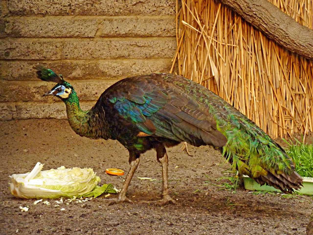 pavliny-foto-opisanie-pticzy-osobennosti-soderzhaniya-v-domashnem-hozyajstve-13