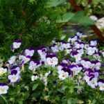 Съедобные цветы виолы: фото, описание, какие виды съедобны, сбор и использование