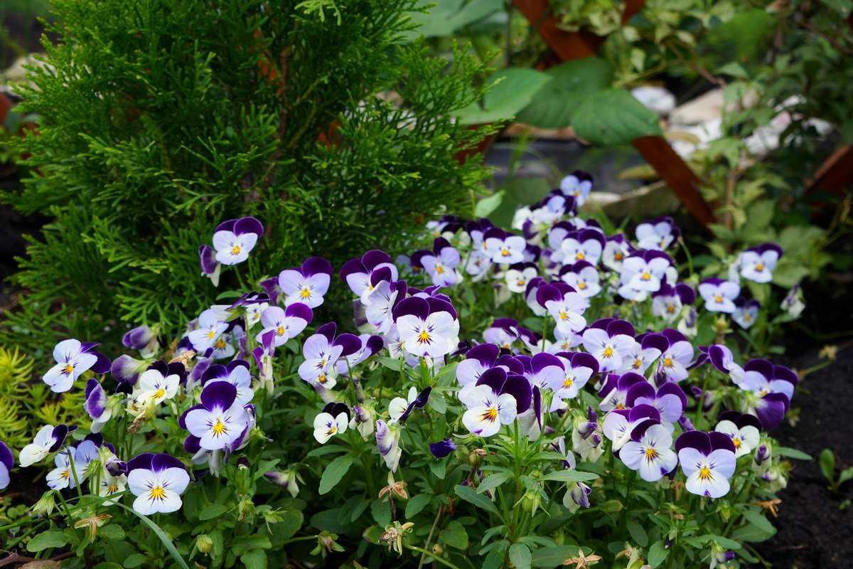 sedobnye-czvety-violy-foto-opisanie-kakie-vidy-sedobny-sbor-i-ispolzovanie