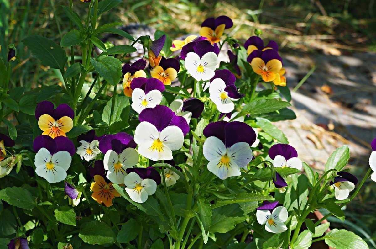sedobnye-czvety-violy-foto-opisanie-kakie-vidy-sedobny-sbor-i-ispolzovanie-2