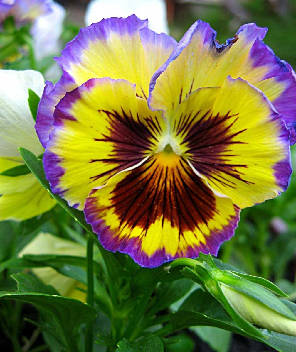 sedobnye-czvety-violy-foto-opisanie-kakie-vidy-sedobny-sbor-i-ispolzovanie-3