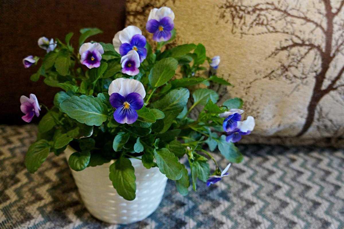 sedobnye-czvety-violy-foto-opisanie-kakie-vidy-sedobny-sbor-i-ispolzovanie-4