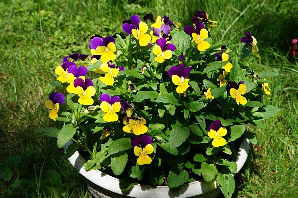 sedobnye-czvety-violy-foto-opisanie-kakie-vidy-sedobny-sbor-i-ispolzovanie-5