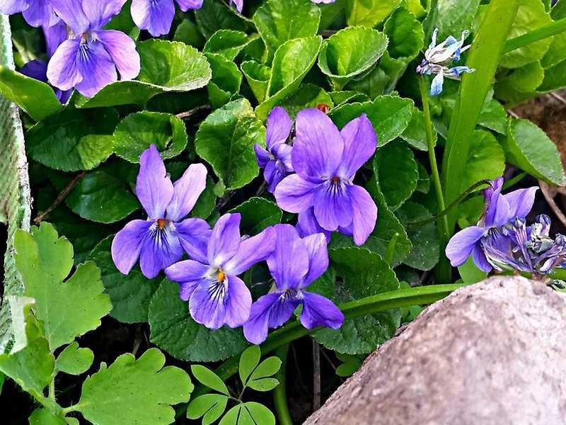 sedobnye-czvety-violy-foto-opisanie-kakie-vidy-sedobny-sbor-i-ispolzovanie-6