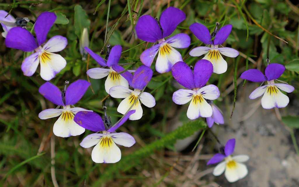 Анютины глазки: фото, описание цветов, лучшие сорта, размножение и уход-2
