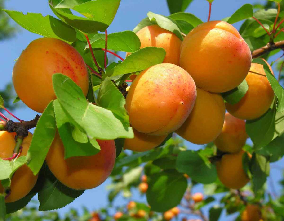 kak-privit-abrikos-nyuansy-i-osobennosti