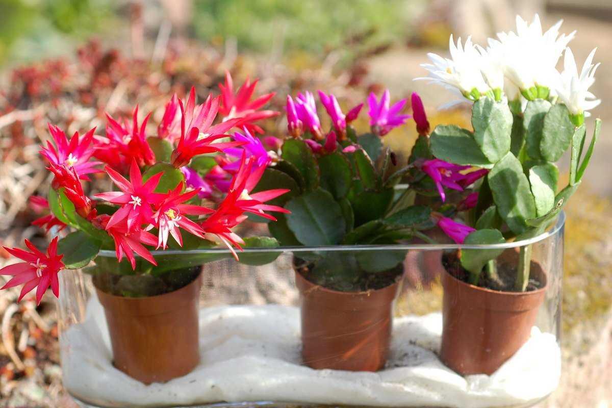 ripsalidopsis-foto-opisanie-uhod-v-domashnih-usloviyah-4
