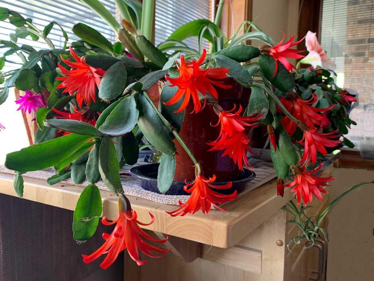 ripsalidopsis-foto-opisanie-uhod-v-domashnih-usloviyah-2