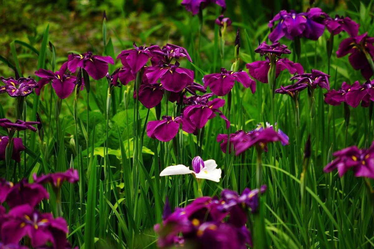iris-yaponskij-foto-opisanie-klassifikacziya-formy-i-sorta-irisov-gruppy-hana-shobu-1