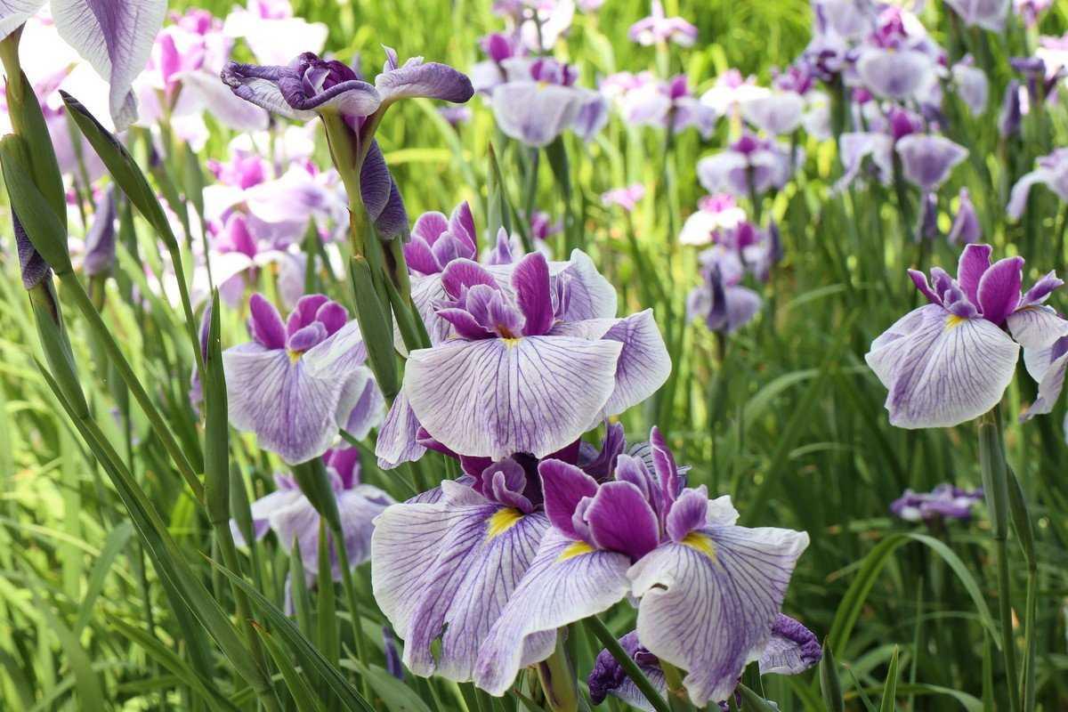 iris-yaponskij-foto-opisanie-klassifikacziya-formy-i-sorta-irisov-gruppy-hana-shobu