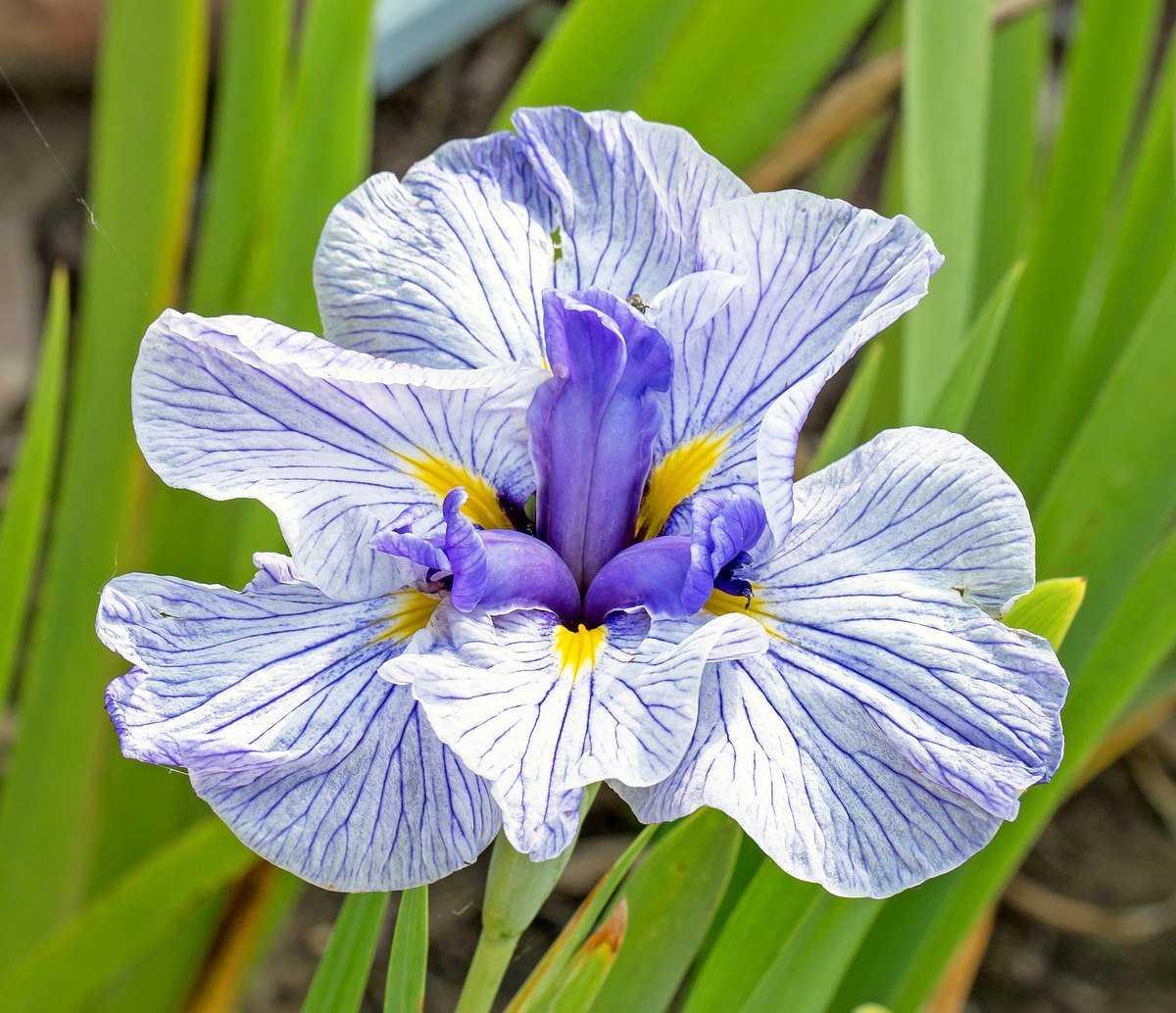 iris-yaponskij-foto-opisanie-klassifikacziya-formy-i-sorta-irisov-gruppy-hana-shobu-3