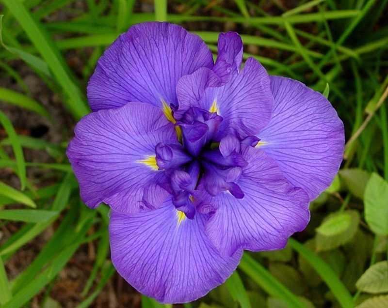 iris-yaponskij-foto-opisanie-klassifikacziya-formy-i-sorta-irisov-gruppy-hana-shobu-5