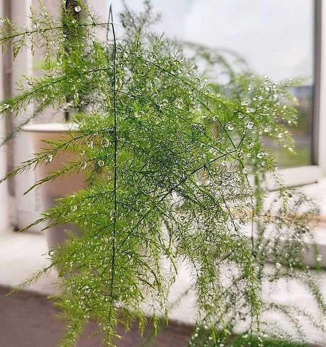 asparagus-peristyj-foto-usloviya-vyrashhivaniya-razmnozhenie-i-uhod-4