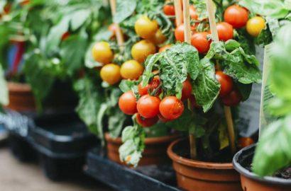 nizkoroslye-tomaty-preimushhestva-vyrashhivaniya-osobennosti-poseva-semyan-na-rassadu