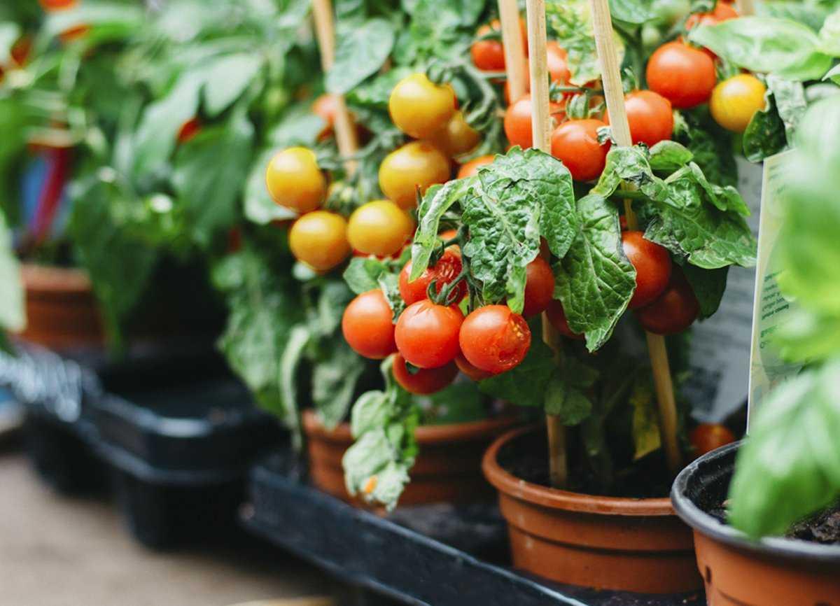nizkoroslye-tomaty-preimushhestva-vyrashhivaniya-osobennosti-poseva-semyan-na-rassadu-1