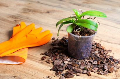 razmnozhenie-orhidei-sposoby-v-domashnih-usloviyah