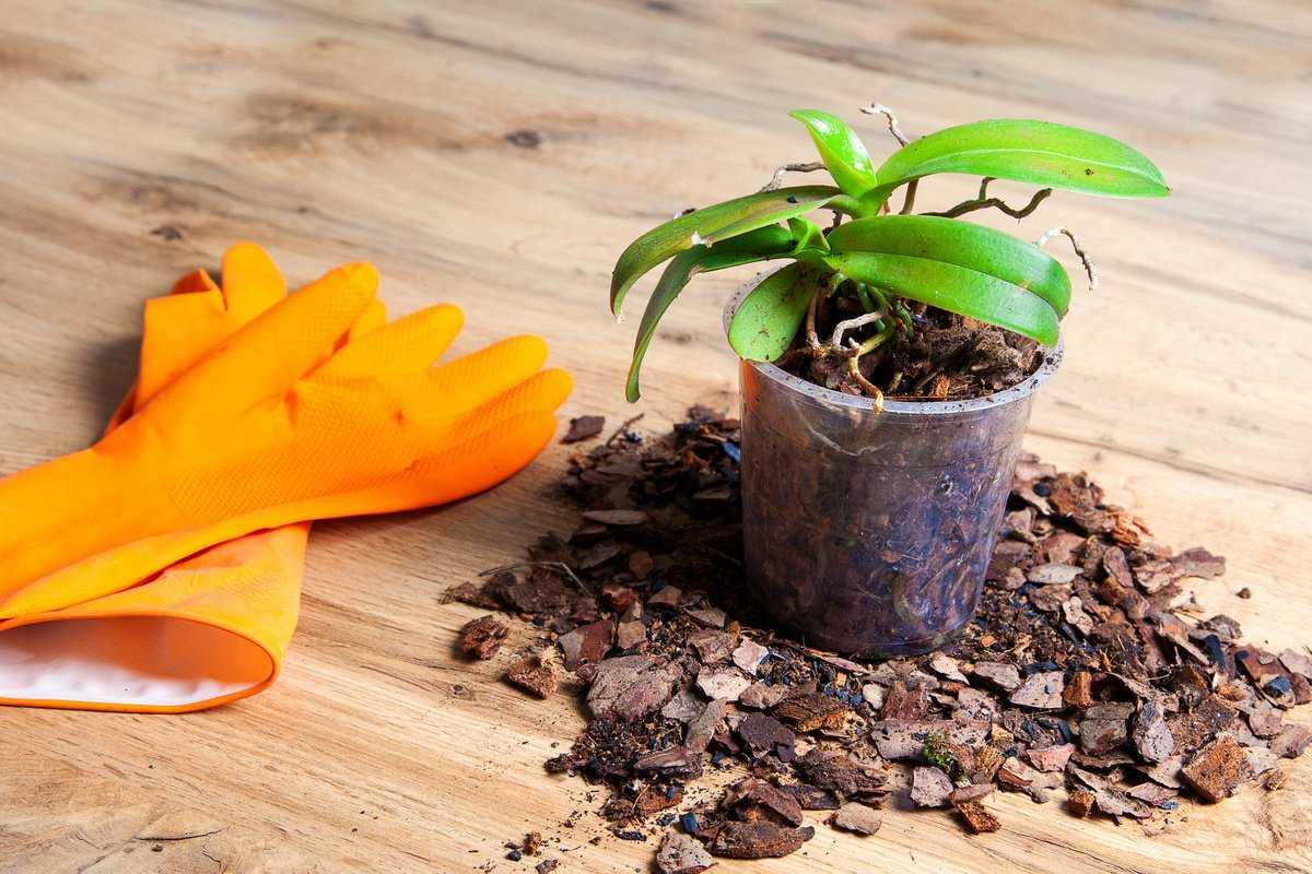 razmnozhenie-orhidei-sposoby-v-domashnih-usloviyah-1